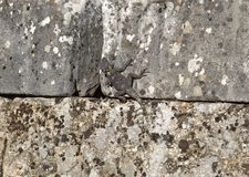 Lizard on the ancient stone. Lizard in ruins of ancient city Labranda Turkey Stock Photo