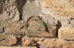 Lizard animal of class Reptilia reptiles. Lizard Lacertilia animal of Phylum Chordata, Clade Sauropsida, Class Reptilia Reptiles over ancient Roman bricks in an royalty free stock photography