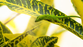 Lizard. Animal in its natural habitat Royalty Free Stock Photos