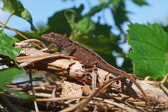 Lizard. Anole lizard (Anolis segrei) sitting on the top of vegetation, heating at the sun royalty free stock photo