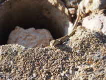 Lizard and ant. Ant and lizard  together Royalty Free Stock Photo