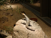 Lizard in an Aquarium in Berlin Germany. The Aquarium in Berlin Germany,  which was built in 1913 as part of the Zoologischer Garten complex. In addition to fish Royalty Free Stock Photo