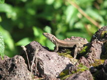 Lizard in the Azores. Gecko lizard in the Azores volcanic island stock images