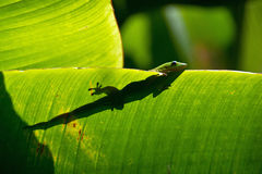 Lizard. In backlight, La Reunion Island Stock Photo