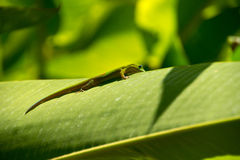 Lizard. In backlight, La Reunion Island Stock Image