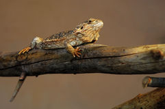 Lizard in balance. On a tree Royalty Free Stock Photos