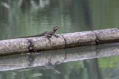 Lizard on Bamboo, Costa Rica. A lizard floats on a stalk of bamboo in a river near Quepos , Cosat Rica, June 2017 Royalty Free Stock Photo