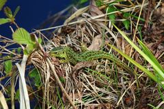 Lizard came out to warm in the spring sun after winter hibernation Royalty Free Stock Photography