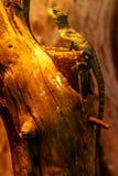Lizard Basiliscus Plumifrons, green crested basilisk. Close up royalty free stock photos