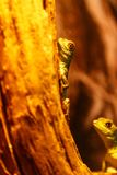 Lizard Basiliscus Plumifrons, green crested basilisk. Close up royalty free stock photography