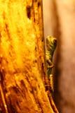 Lizard Basiliscus Plumifrons, green crested basilisk. Close up stock image