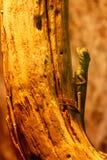 Lizard Basiliscus Plumifrons, green crested basilisk. Close up stock photos