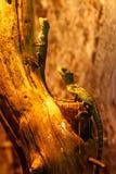 Lizard Basiliscus Plumifrons, green crested basilisk. Close up stock photo