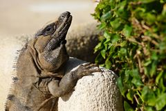 The lizard is basked in the sun Stock Photography