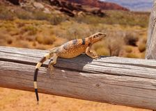 Lizard basking in the desert sun Stock Photo