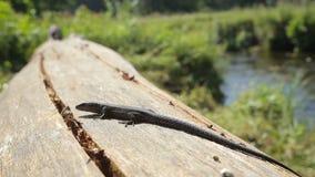 Lizard basking in the morning sun stock footage
