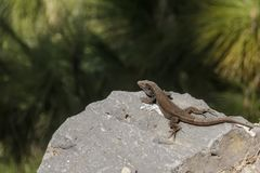 Lizard basking on a pebble. National Park Teide, Tenerife, Canary Islands stock image