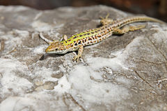Lizard basking on a rock at solcne Royalty Free Stock Photos