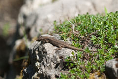 The lizard is basking on rock Royalty Free Stock Image