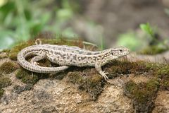 Lizard basking on a stone royalty free stock image