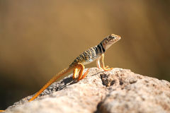 Lizard Basking in the Sun stock image