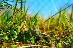 Lizard. Basking in the sun Stock Image