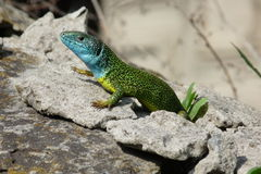 Lizard. Basking in the sun Royalty Free Stock Photo