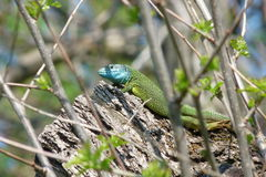 Lizard. Basking in the sun Stock Images