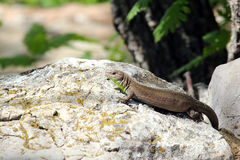 Lizard basking Stock Photos