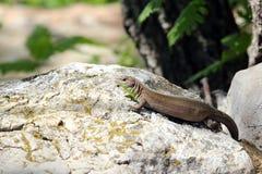 Lizard basking Stock Photos