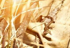 Lizard basking in the sun. Brown lizard basking in the sun Stock Photography