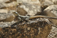 Lizard basking in the sun. Cold-blooded reptile. Royalty Free Stock Images