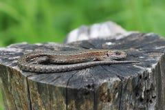 Lizard basking in the sun, lying Stock Image