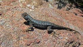 Lizard basking in sun in Paso Robles Central California USA during early spring Royalty Free Stock Image