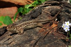 A lizard basking in the sun. Sitting on a wooden log Royalty Free Stock Photography