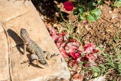 Lizard basking in the sun, Varadero, Matanzas, Cuba. Close-up. Royalty Free Stock Photography