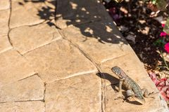 Lizard basking in the sun, Varadero, Matanzas, Cuba. Copy space for text. Royalty Free Stock Images