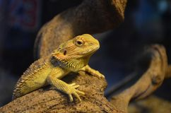 Lizard basks on a branch and watches in a terrarium stock photos