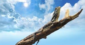 Lizard bathing under dry summer sun and blue sky. Lizard sun bathing on a branch under a hot summer sky stock photo