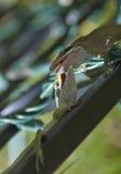 Lizard Battle. Two gecko lizards do battle stock photos
