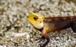 Lizard on the beach. Lizard walking. Natural life Royalty Free Stock Photos