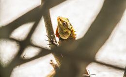 Lizard on the beach. Lizard walking. Natural life Royalty Free Stock Images