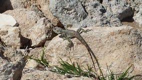 Lizard beach rock. Lizard on a rock in Cyprus Stock Photos