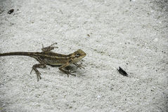 Lizard at the Beach. A small green lizard at a sandy beach Royalty Free Stock Images