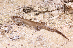 Lizard on the beach in western australia Stock Images