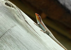 Lizard on the beam Royalty Free Stock Images