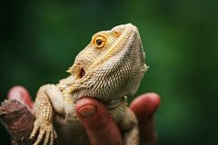 Lizard bearded agama. On hand royalty free stock photography