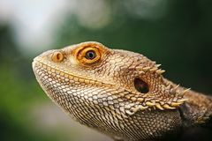 Lizard bearded agama stock image