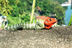 Lizard with beautiful color lies on a stone wall and heated. Lizard with green body and red head lies on a stone wall and heated Stock Photos