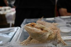 Pet lizard royalty free stock photo